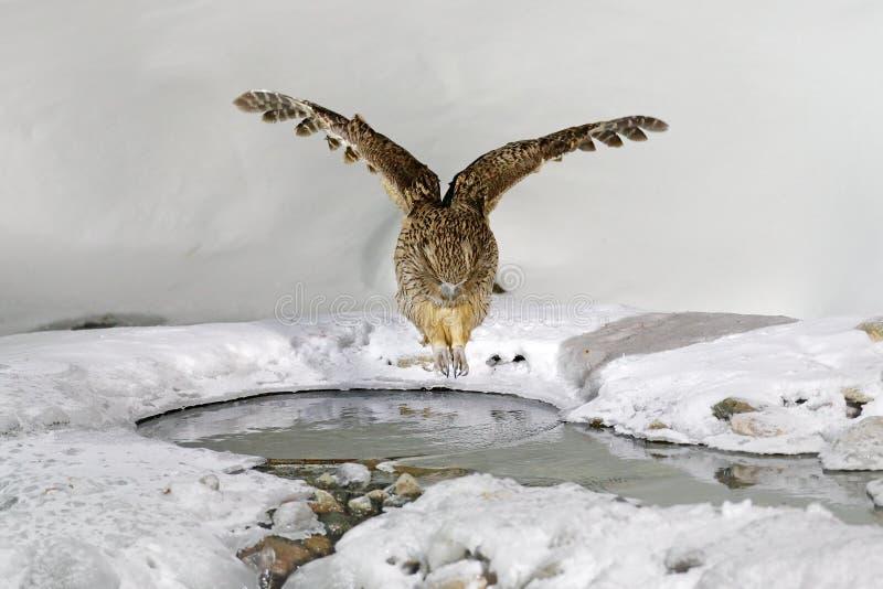 De uil van Blakiston` s vissen, gevangen vissen in de rekening, grootste het leven species van uil Vogel de jacht in koud water m stock foto's