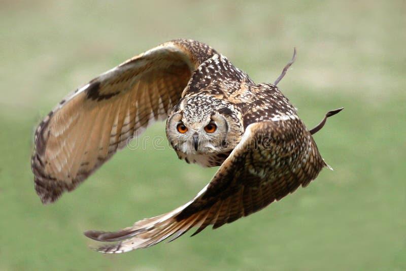 De uil van de adelaar tijdens de vlucht