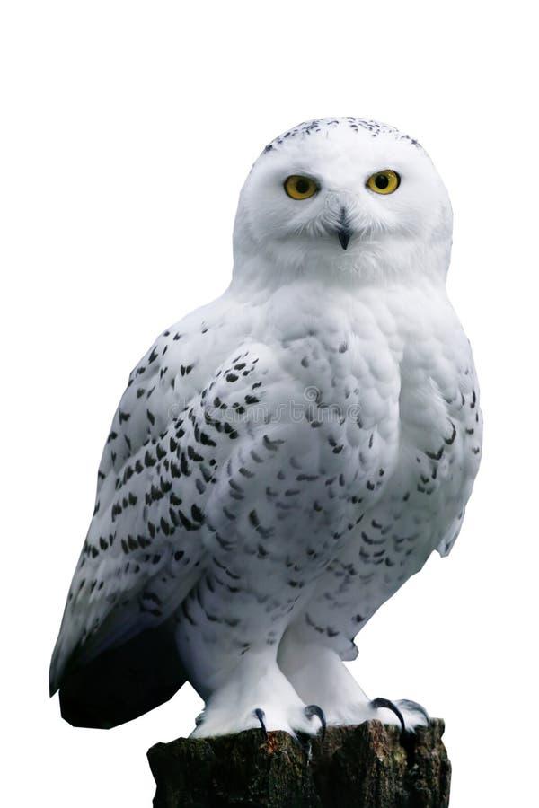 De Uil van de sneeuw op witte achtergrond stock foto's