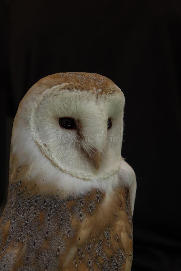 De Uil van de schuur, alba Tyto De vogel van bidt stock foto's