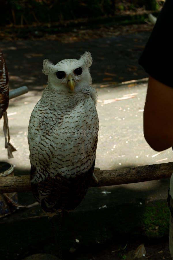 de uilen zijn zeldzaam met mooie ogen die in de wildernis leven stock afbeelding