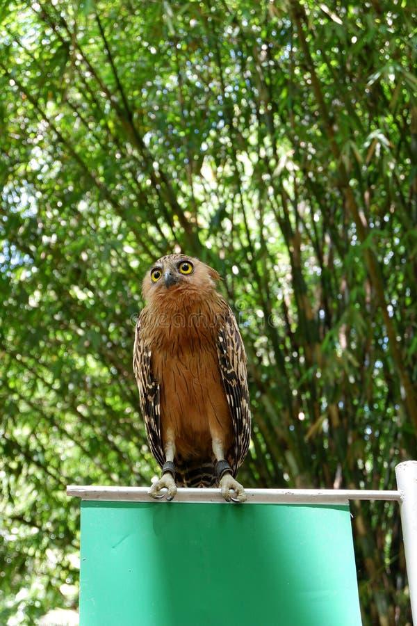 de uilen zijn zeldzaam met mooie ogen die in de wildernis leven stock foto