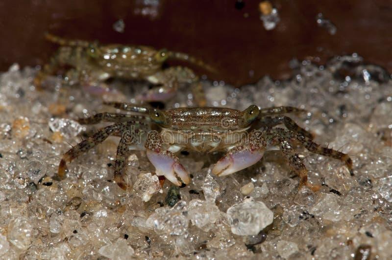 De uiterst kleine Krab van de Bloem stock fotografie