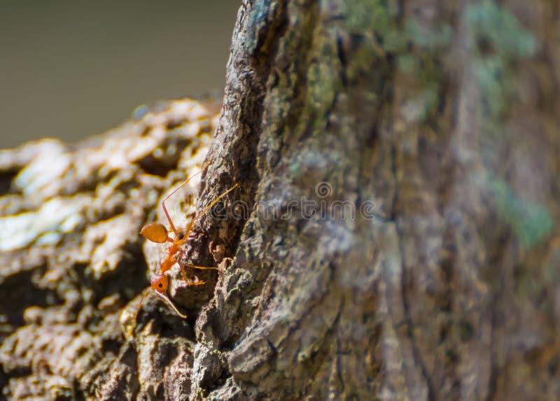 de uiterst kleine rode mier onderzoekt rond de schors van de boom royalty-vrije stock afbeeldingen