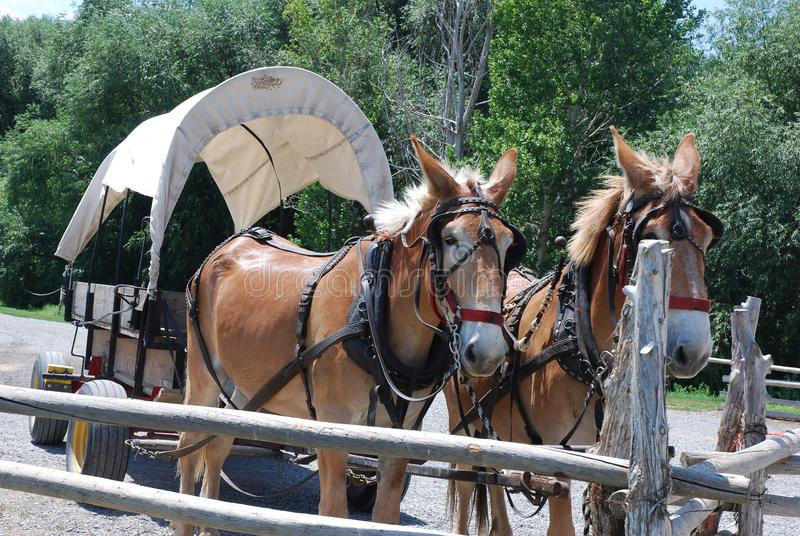 De uitgeruste paarden trekken een behandelde wagen royalty-vrije stock foto