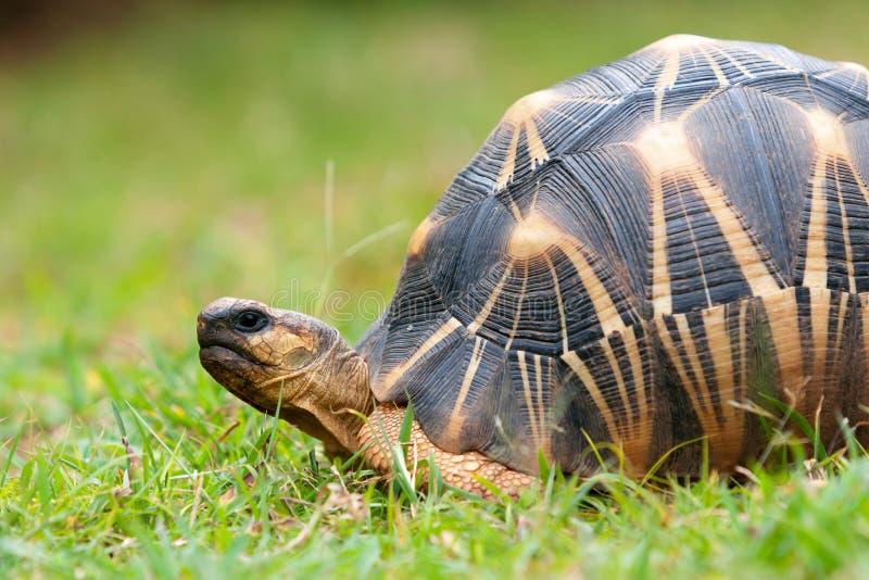 De uitgestraalde schildpad royalty-vrije stock afbeeldingen