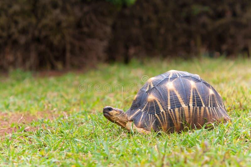 De uitgestraalde schildpad royalty-vrije stock afbeelding