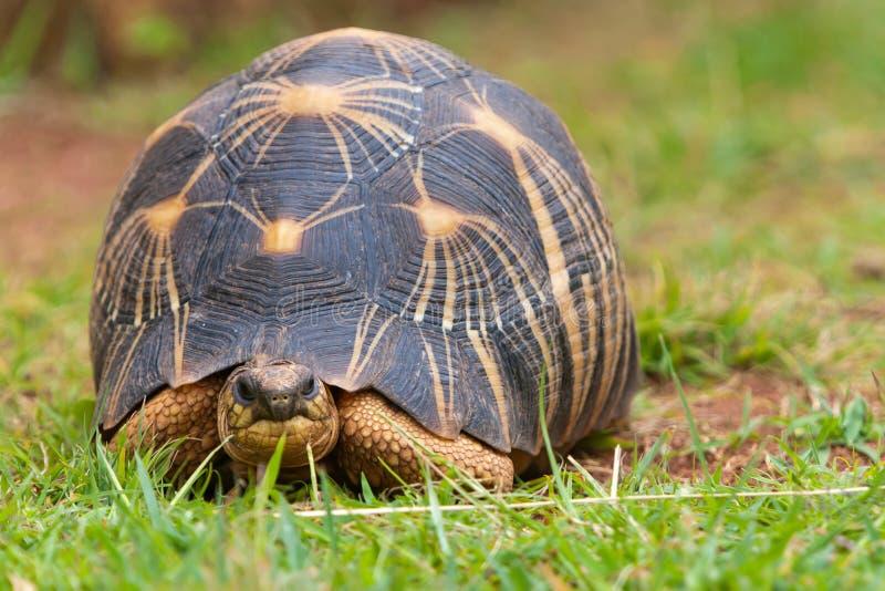 De uitgestraalde schildpad royalty-vrije stock fotografie