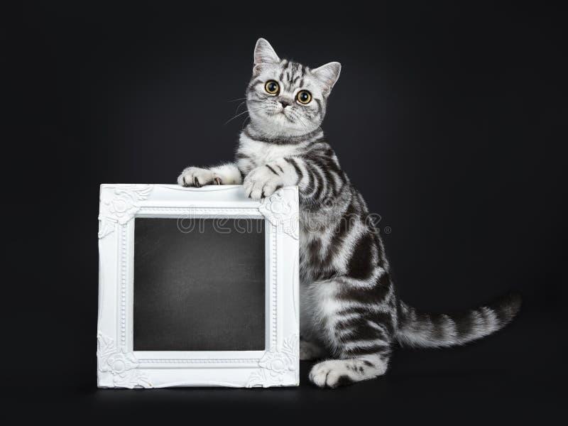 De uitstekende duidelijke zwarte zilveren gestreepte kat blotched Brits Shorthair-kattenkatje, solated op zwarte achtergrond royalty-vrije stock fotografie