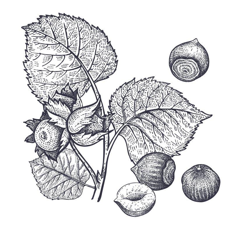 De uitstekende gravure van hazelnotennoten royalty-vrije illustratie