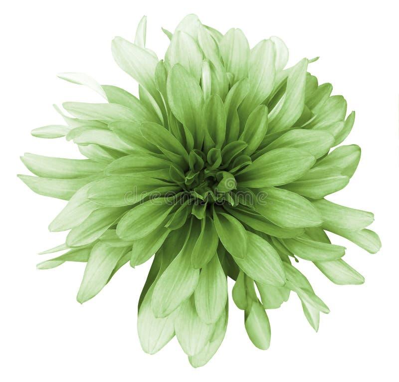 De uitstekende groene witte die achtergrond van de dahliabloem met het knippen van weg wordt geïsoleerd close-up Voor ontwerp stock foto's