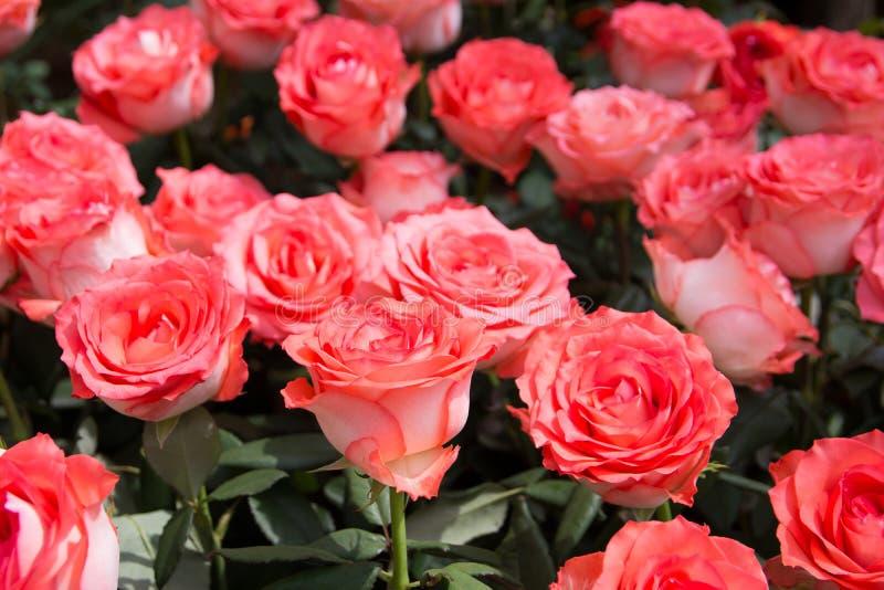 De uitstekende roze achtergrond van struikrozen Roze rozen in de tuin Roze rozen in het park royalty-vrije stock afbeeldingen