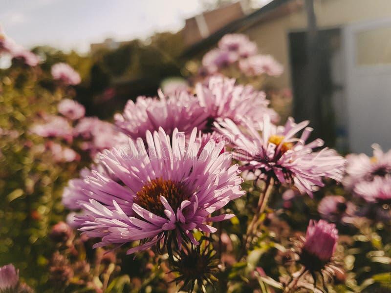 De underbara purpurfärgade blommorna royaltyfria foton