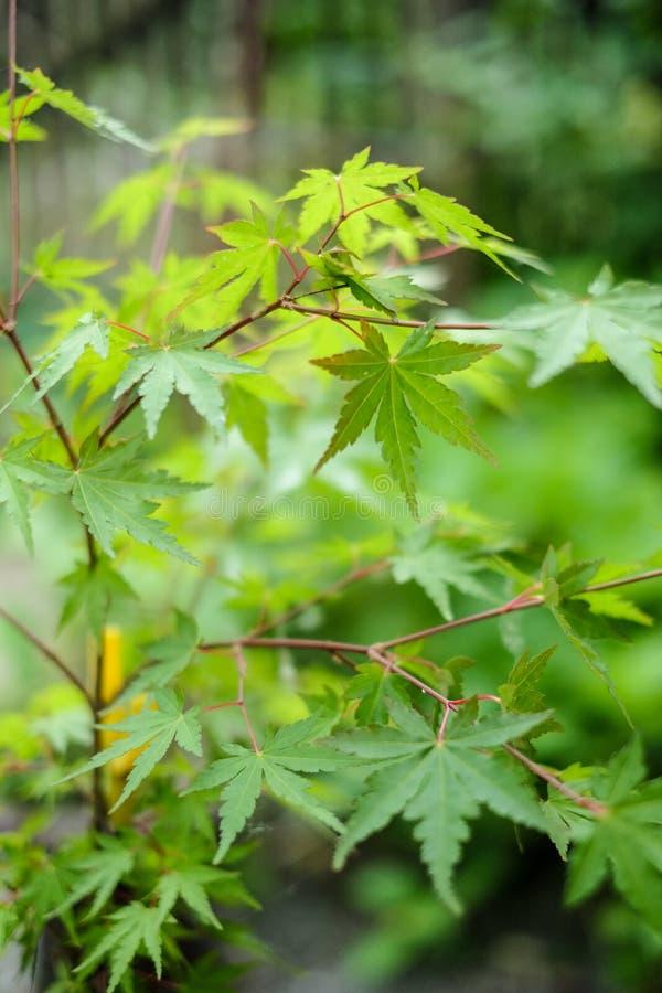 De unga gröna sidorna av trädet för japansk lönn grunt djupfält royaltyfri fotografi