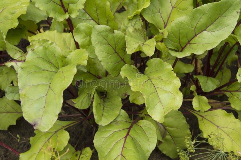De unga sidorna av beta som växer i trädgården, bästa sikt arkivfoto