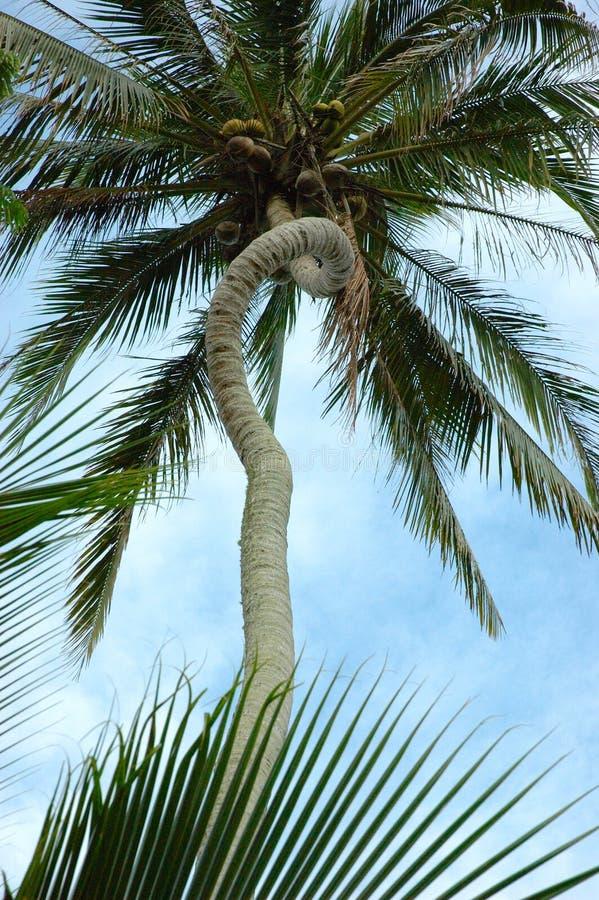 De unieke Gebogen Boomstam van de Palm stock foto's