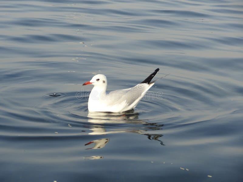 De unieke overzeese vogel-zeemeeuwen stock foto