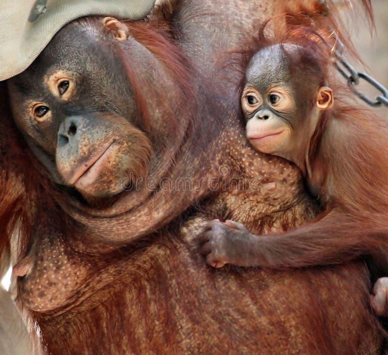 De utan moeder van de orang-oetan royalty-vrije stock afbeeldingen