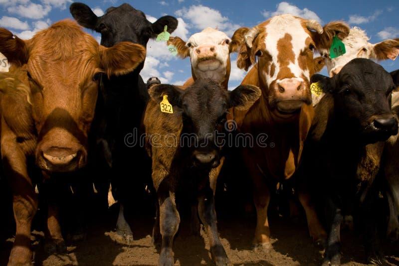 De vaches fin vers le haut et personnel photo libre de droits