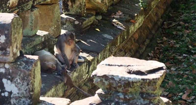 De vader behandelt de kinderen terwijl de moeder rust Een familie van apen dichtbij de oude ruïnes Fauna van stock afbeeldingen