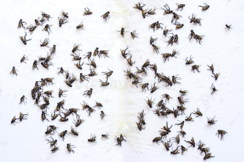 De val van de vlieglijm Dode die vliegen op een lijmval worden opgesloten stock foto