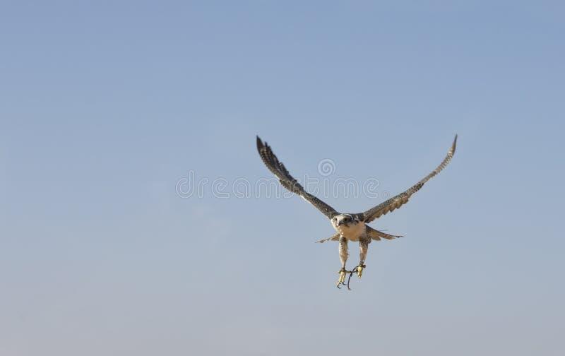 De valkenier leidt Peregrine Falcon in een woestijn dichtbij Doubai op stock fotografie