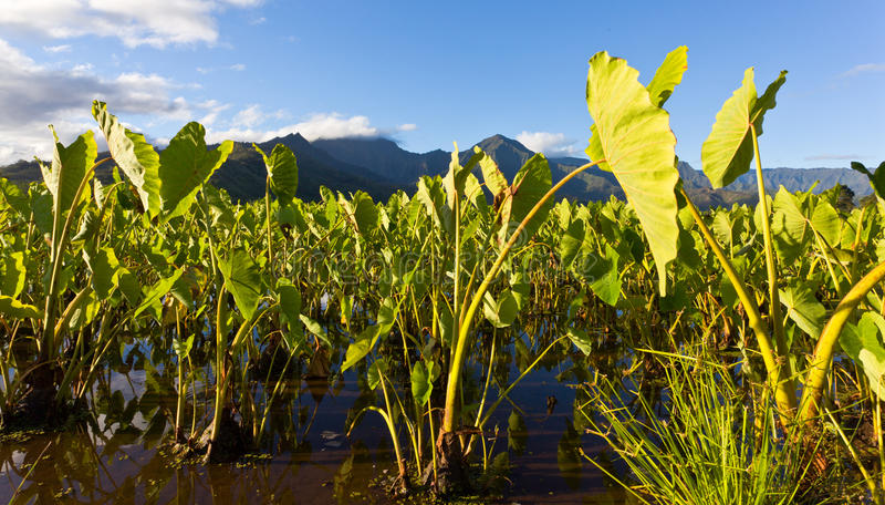 De Vallei van Hanalei in Kauai stock afbeelding