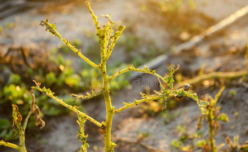 De van de coloradokeversleptinotarsa van Colorado decemlineatazitting op een aardappel Insectongedierte - de vijand van de landbo royalty-vrije stock foto's