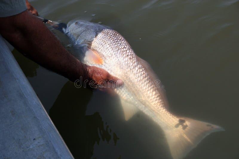 De vangst en geeft een aardige groottezalm terug in de wildernis vrij stock afbeelding