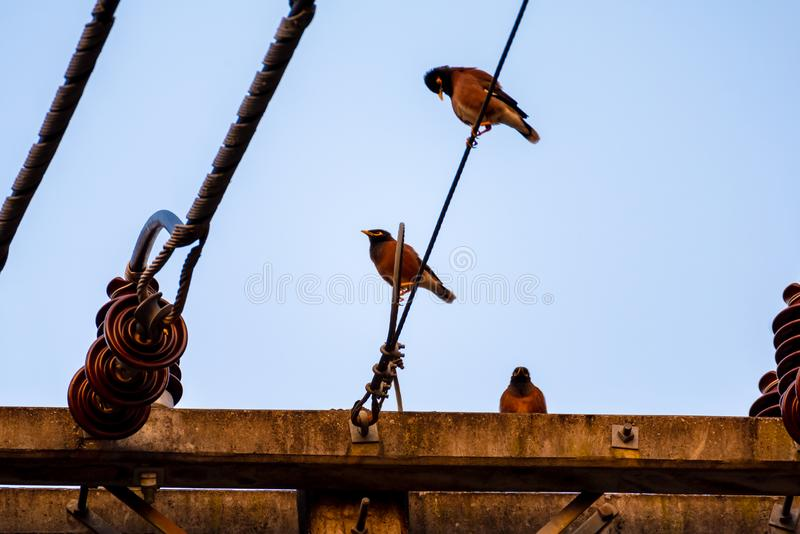 De vangst van Mynasvogels op de elektrische tijd van de pooldag stock afbeelding