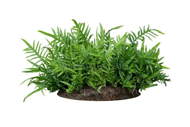 De varen van groene bladeren Hawaiiaanse Laua 'e of van de Wrattenvaren ringt de tropische gebladerteinstallatie op grond met dod royalty-vrije stock foto
