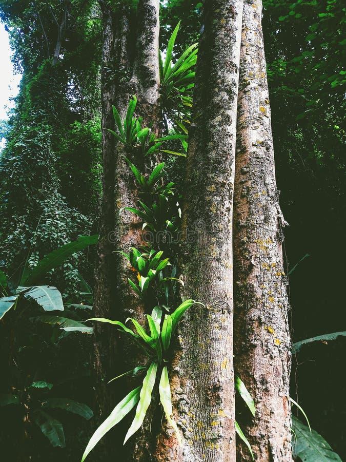 de varen van het vogel` s nest in het regenwoud royalty-vrije stock fotografie