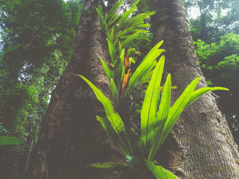de varen van het vogel` s nest in het regenwoud stock fotografie