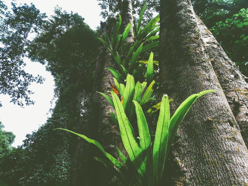 de varen van het vogel` s nest in het regenwoud stock foto