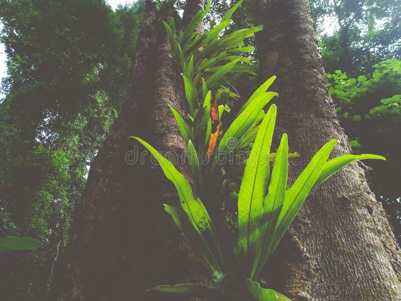 de varen van het vogel` s nest in het regenwoud royalty-vrije stock afbeelding