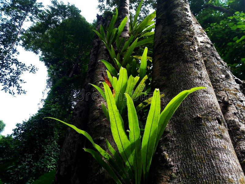 de varen van het vogel` s nest in het regenwoud royalty-vrije stock afbeeldingen