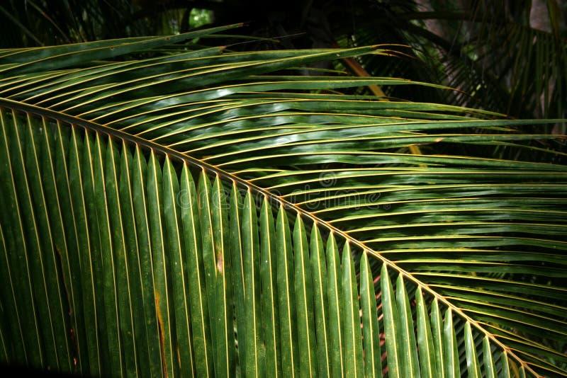 De varenbladentextuur van de palm stock foto's