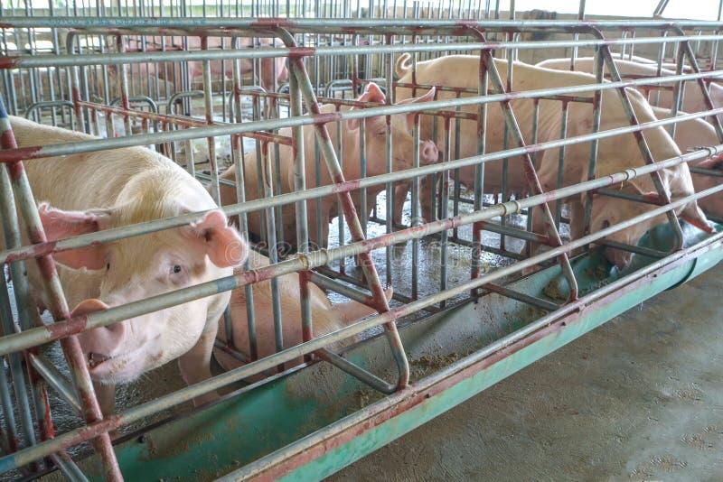 De varkens in het landbouwbedrijf stock afbeelding