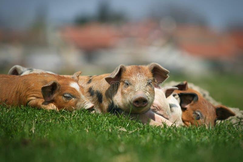 De varkens van Colorfull royalty-vrije stock afbeeldingen
