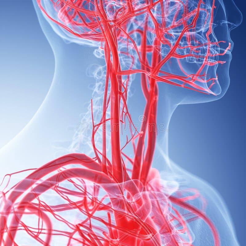 De vasculaire halsanatomie vector illustratie