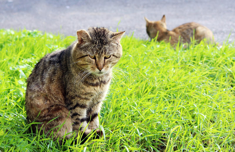 de vaste vorm gegeven dakloze kleur van het kattenriet met wonden na een strijd stock afbeelding