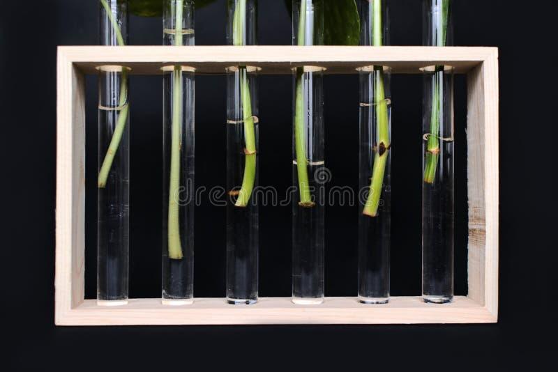 De vazen van het testglas in houten kader met de knipsels die van de installatiestam op het wortel schieten tijdens propagatie op stock afbeeldingen