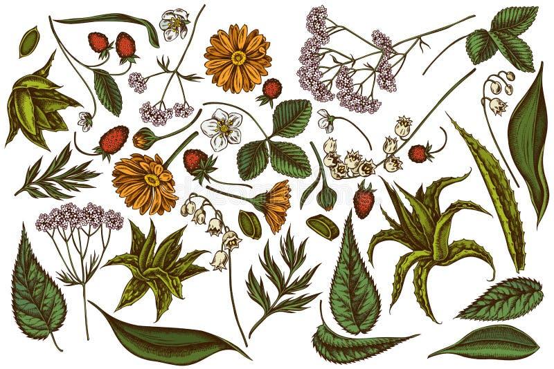 De vector getrokken reeks van hand kleurde aloë, calendula, lelietje-van-dalen, netel, aardbei, valeriaan royalty-vrije illustratie