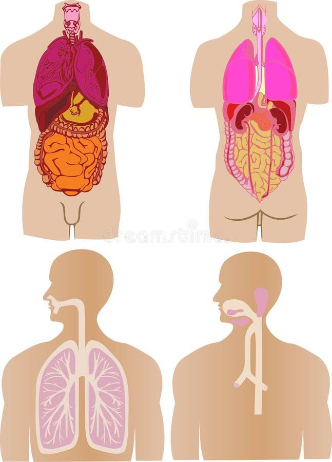 de vector plaatste een maag van een darm een lever vector illustratie