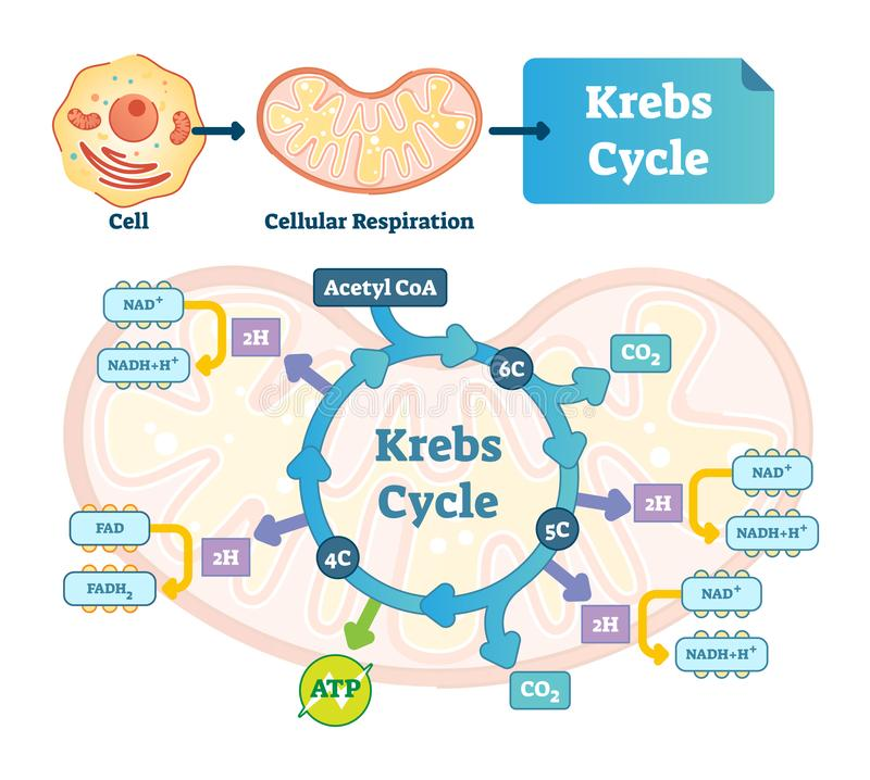 De vectorillustratie van de Krebscyclus Citroen tricarboxylic zuur geëtiketteerd regeling vector illustratie