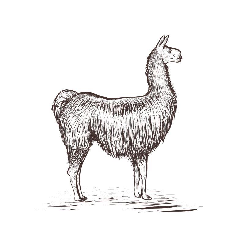 De vectorillustratie van de lamaschets lama royalty-vrije illustratie