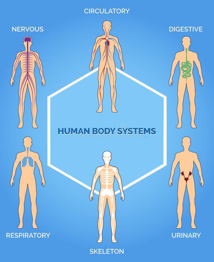 De vectorillustratie van menselijk lichaamssystemen royalty-vrije illustratie