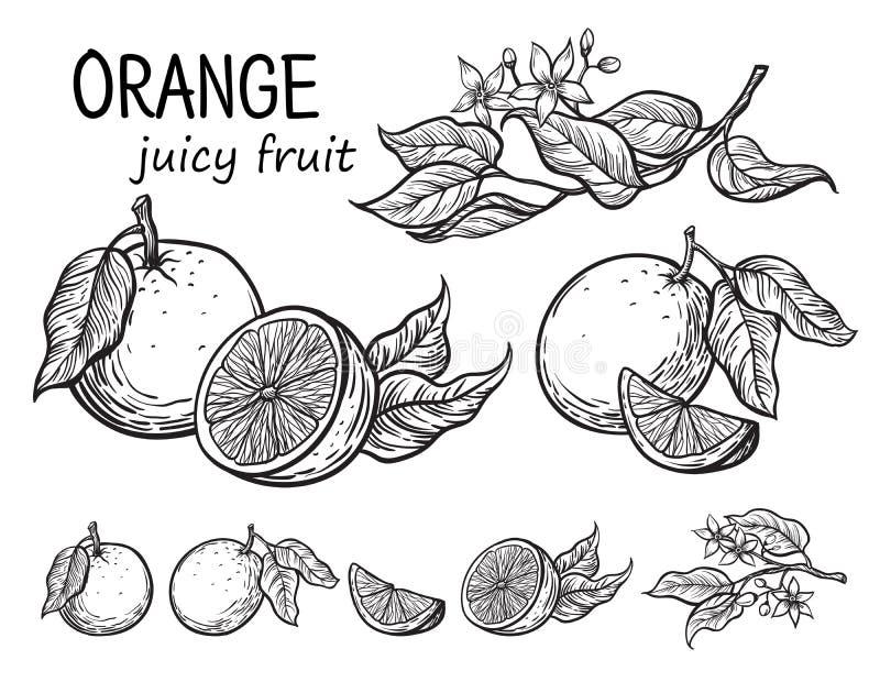 De vectorsinaasappelen overhandigen getrokken schets stock illustratie