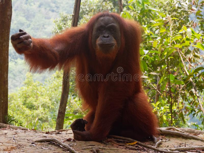 De veeleisende Wildernis van Orang-oetanutan Sumatra stock afbeeldingen