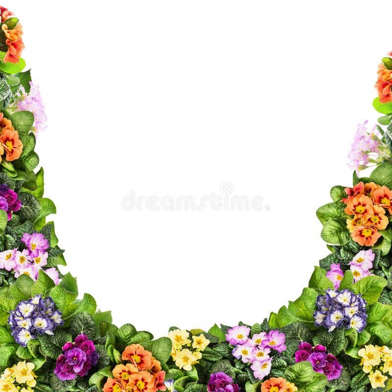 De veelkleurige die primula bloeit kader, op wit wordt geïsoleerd royalty-vrije stock afbeeldingen